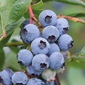 fruit-myrtille