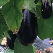 legume-aubergine