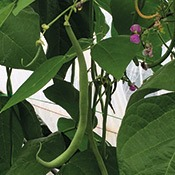legume-haricot