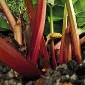 legume-rhubarbe