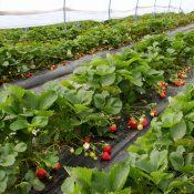 ranges-de-fraises-sous-serre-dsc_8439_27772950624_o